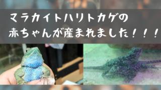 マラカイトハリトカゲのベビーが産まれた!!!